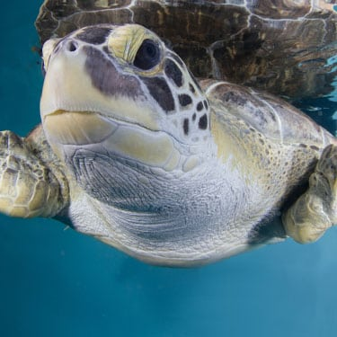 Stubby the sea turtle