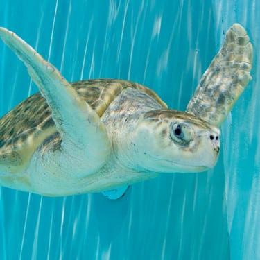Madam a sea turtle swimming