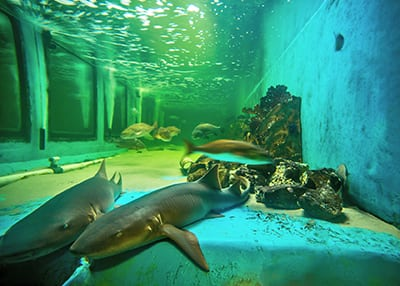 nurse shark habitat