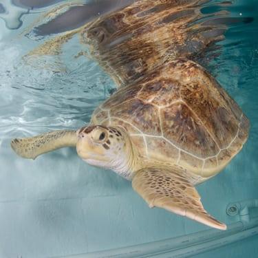 Ula a green sea turtle