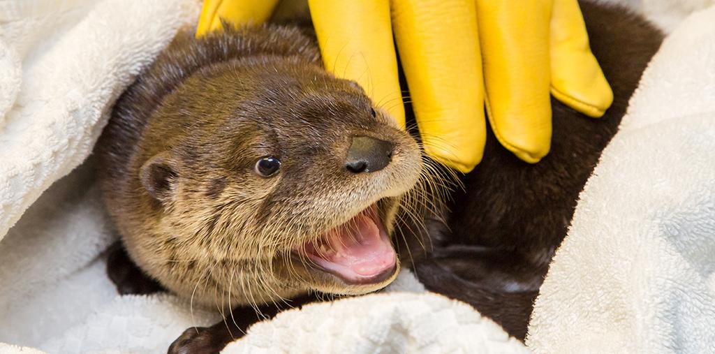 baby otter kit under glove