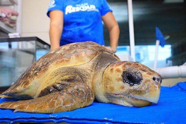 alvin loggerhead sea turtle