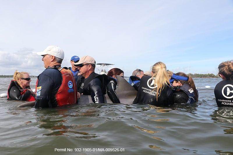 entangled dolphin calf rescue