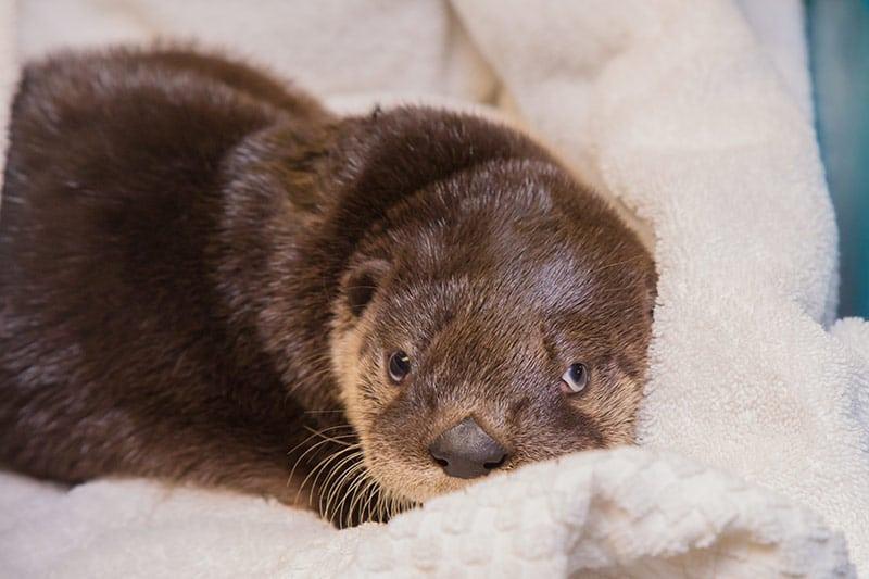 Otter Kit in Blanket