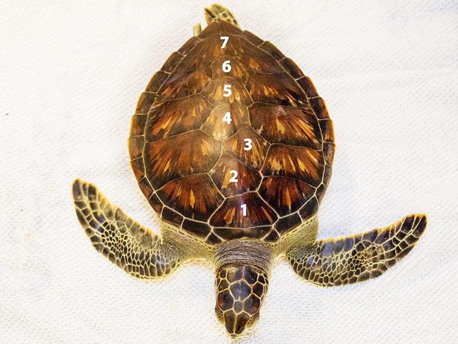chex sea turtle with 7 scutes