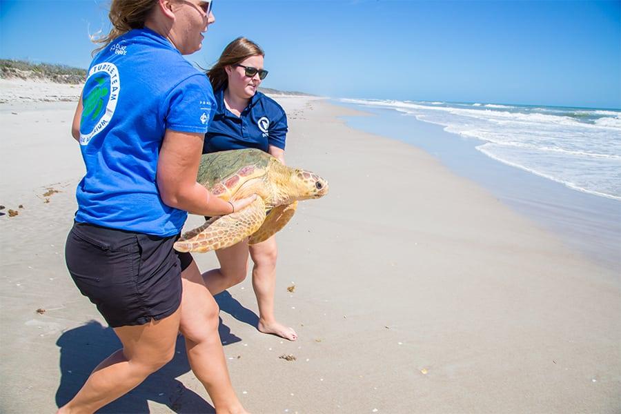 Alvin sea turtle being released by Clearwater Marine Aquarium sea turtle team