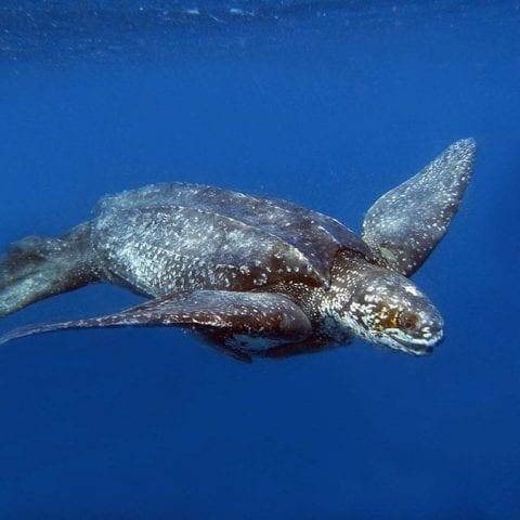 largest sea turtle