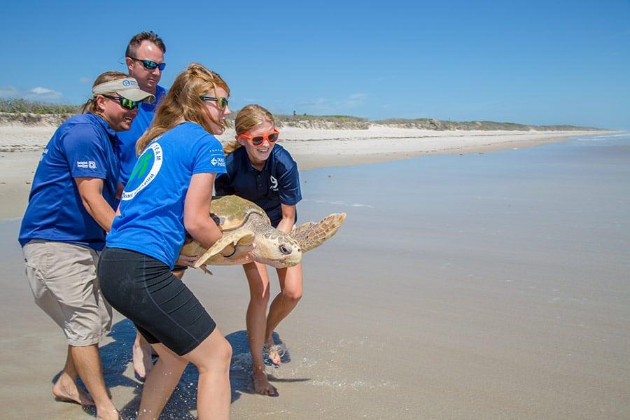 Simon loggerhead sea turtle being released by Clearwater Marine Aquarium sea turtle team