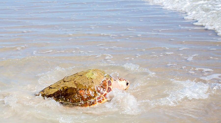 Simon loggerhead sea turtle released into the ocean