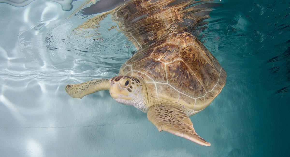 Ula sea turtle