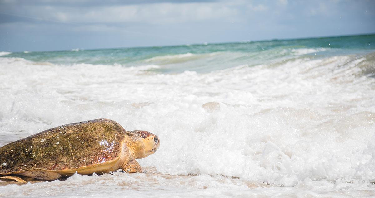 Golden Graham sea turtle release