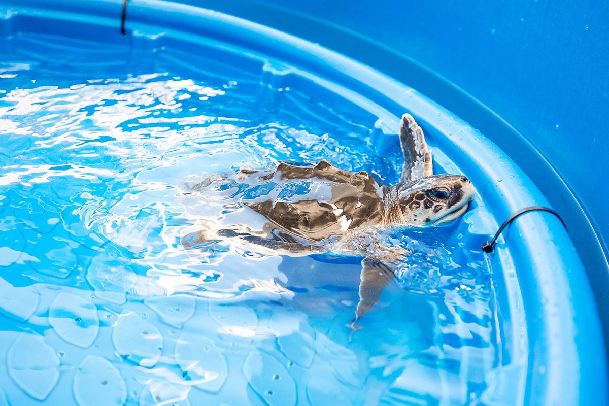 Oat Bran Kemp's ridley sea turtle rehab