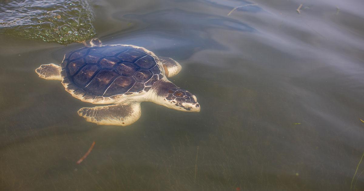 Oat Bran Kemp's ridley sea turtle swimming