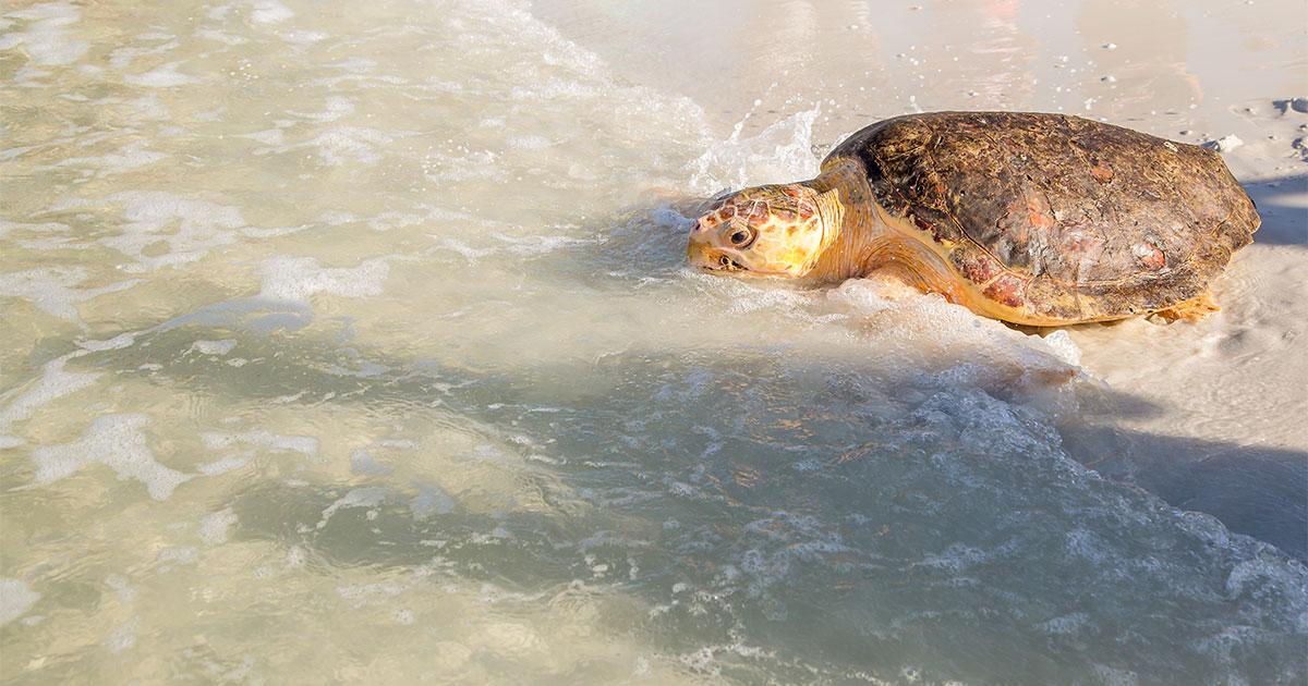 Waffle Crisp loggerhead sea turtle release