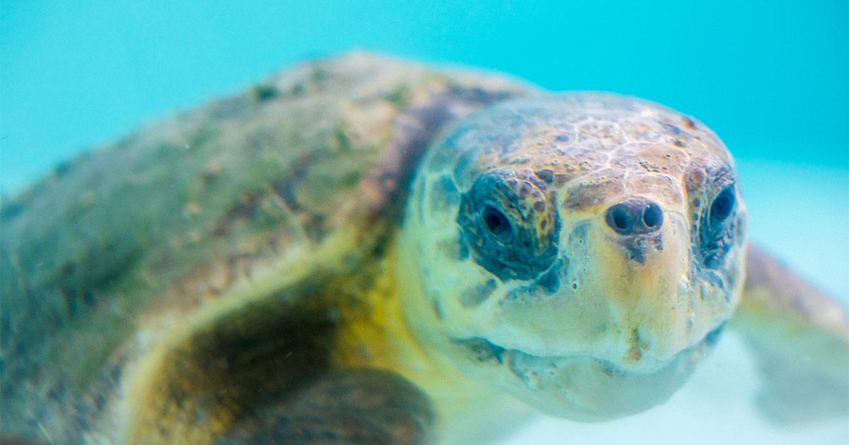 Freesia loggerhead sea turtle