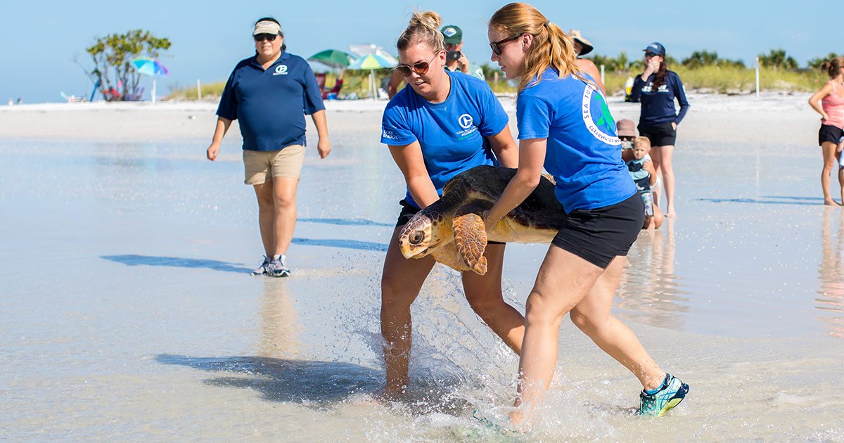 Freesia sea turtle release at Honeymoon Island