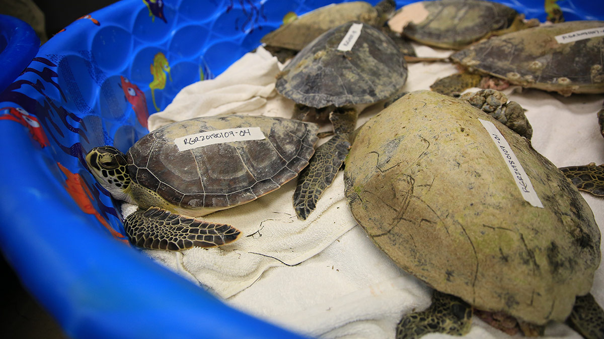 group of rescued cold sea turtles in dry dock rehab pool
