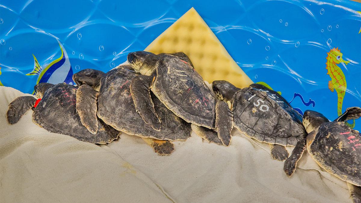 cold-stun kemp's ridley sea turtles