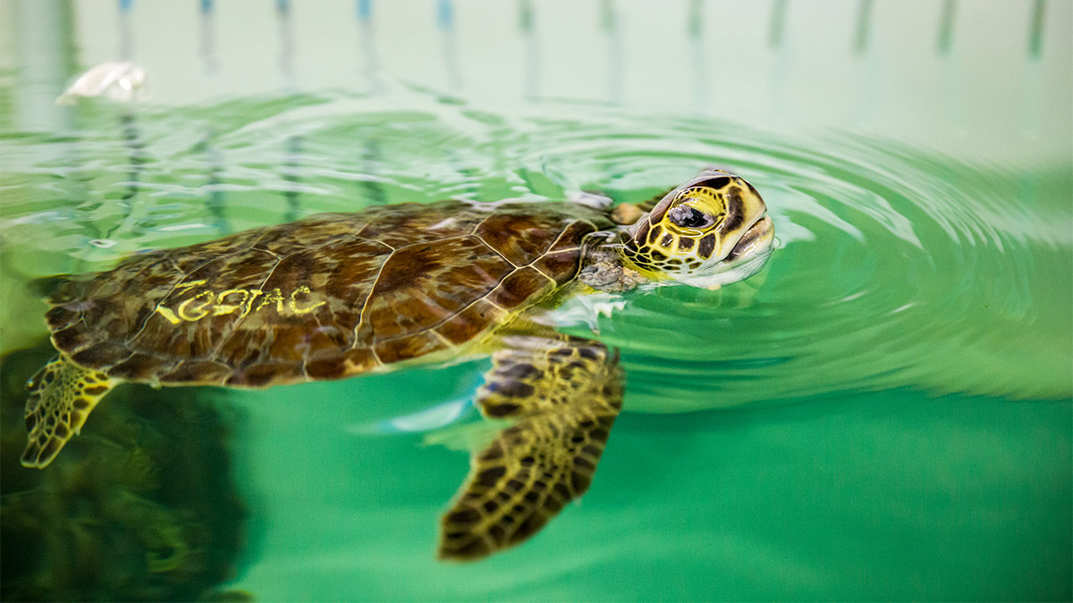 sea turtle rehab zodiac