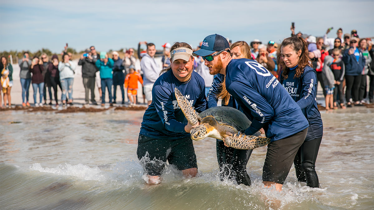 green sea turtle release