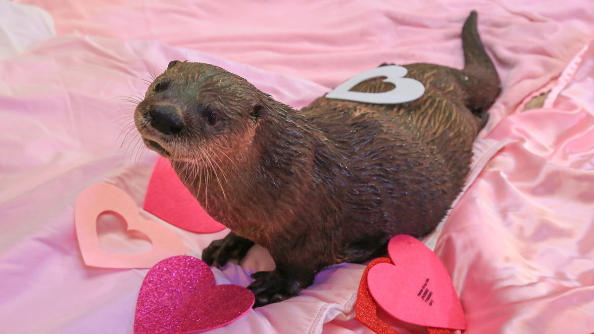 cooper the otter with hearts