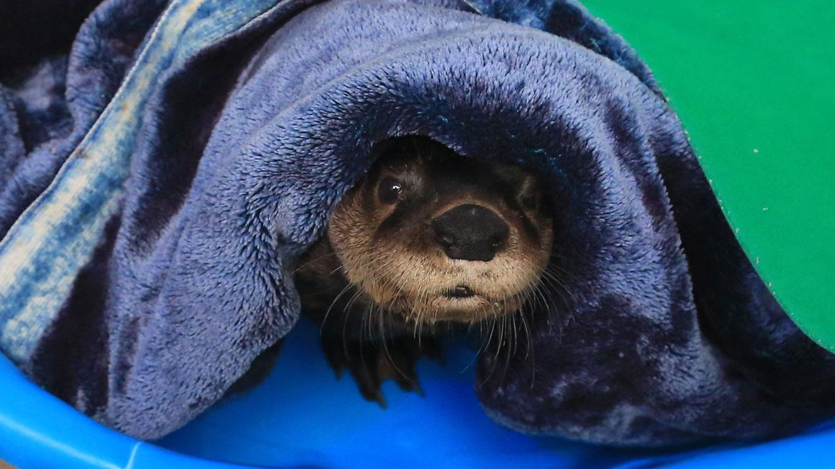 cooper otter blankets