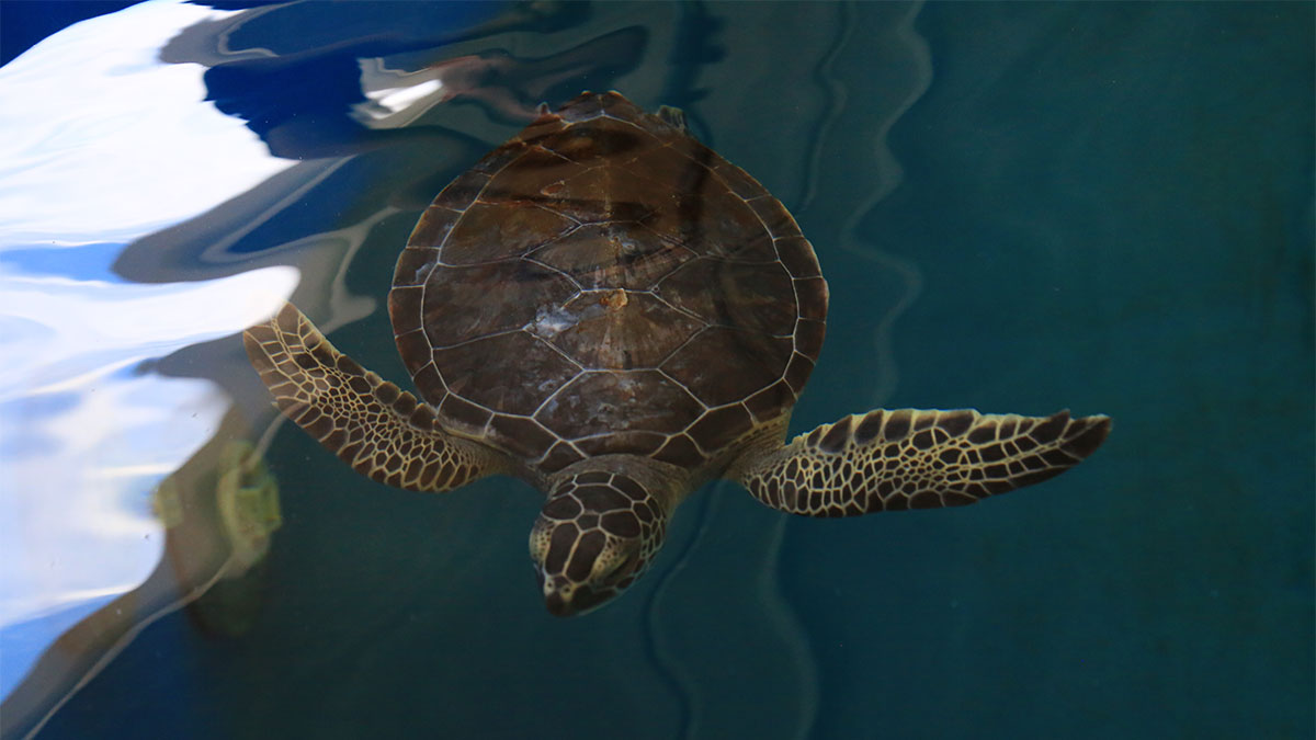 Feta green sea turtle swimming