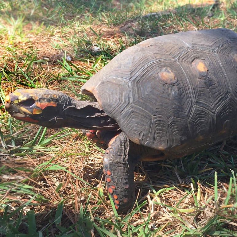 mango red footed tortoise