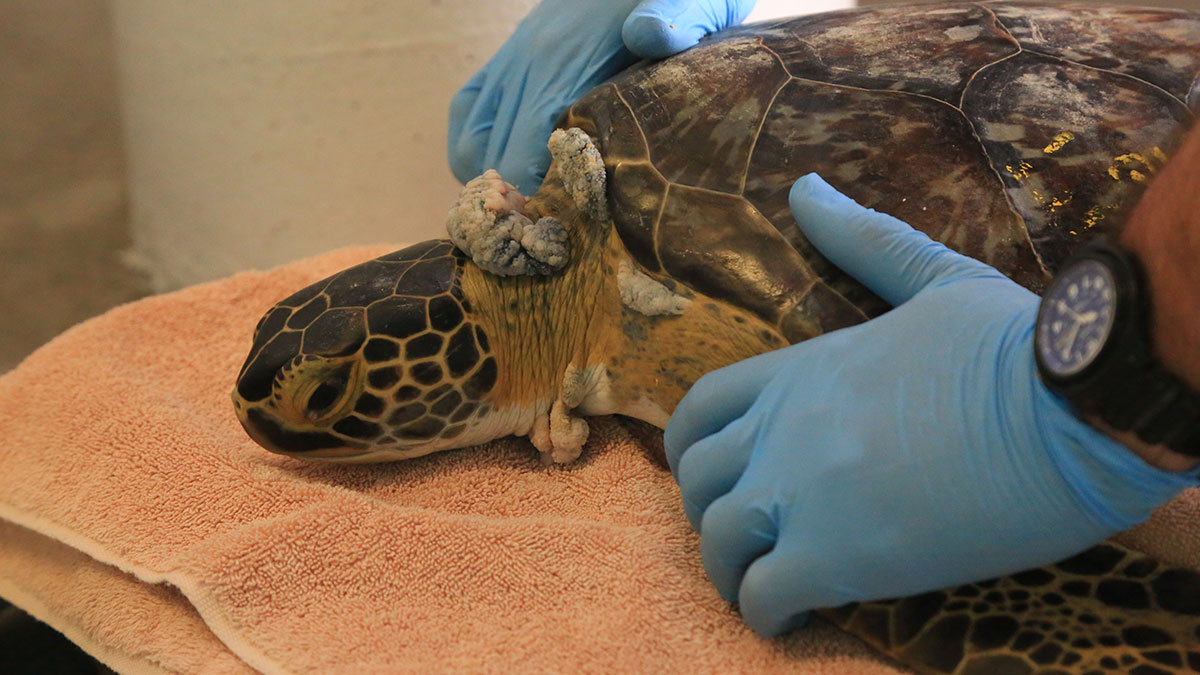 Equinox sea turtle patient