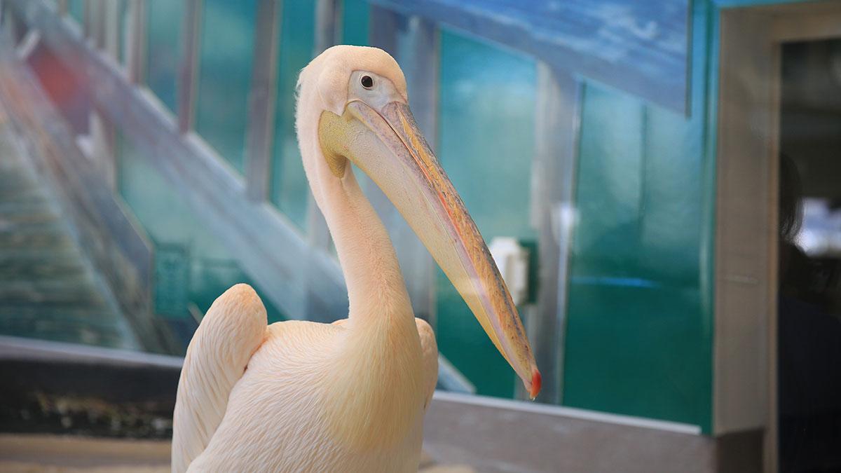 matthew the pelican