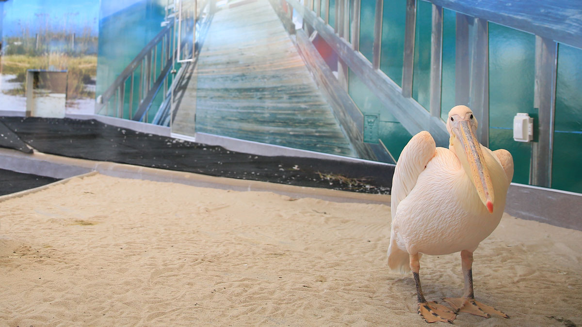 pelican, tyndall