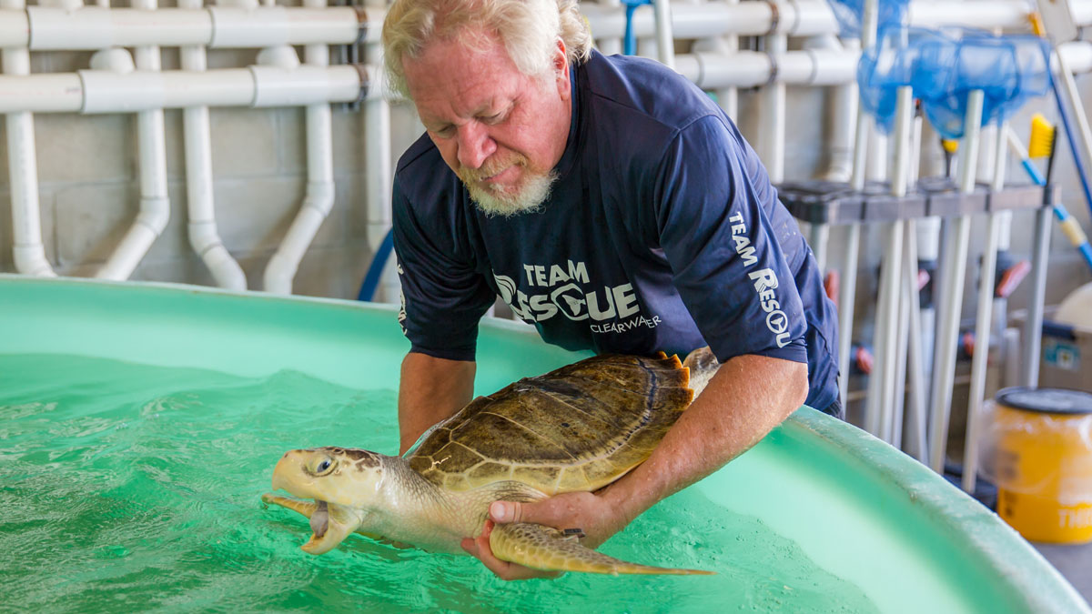 Marigold Kemp's ridley sea turtle being pulled form rehab pool for release
