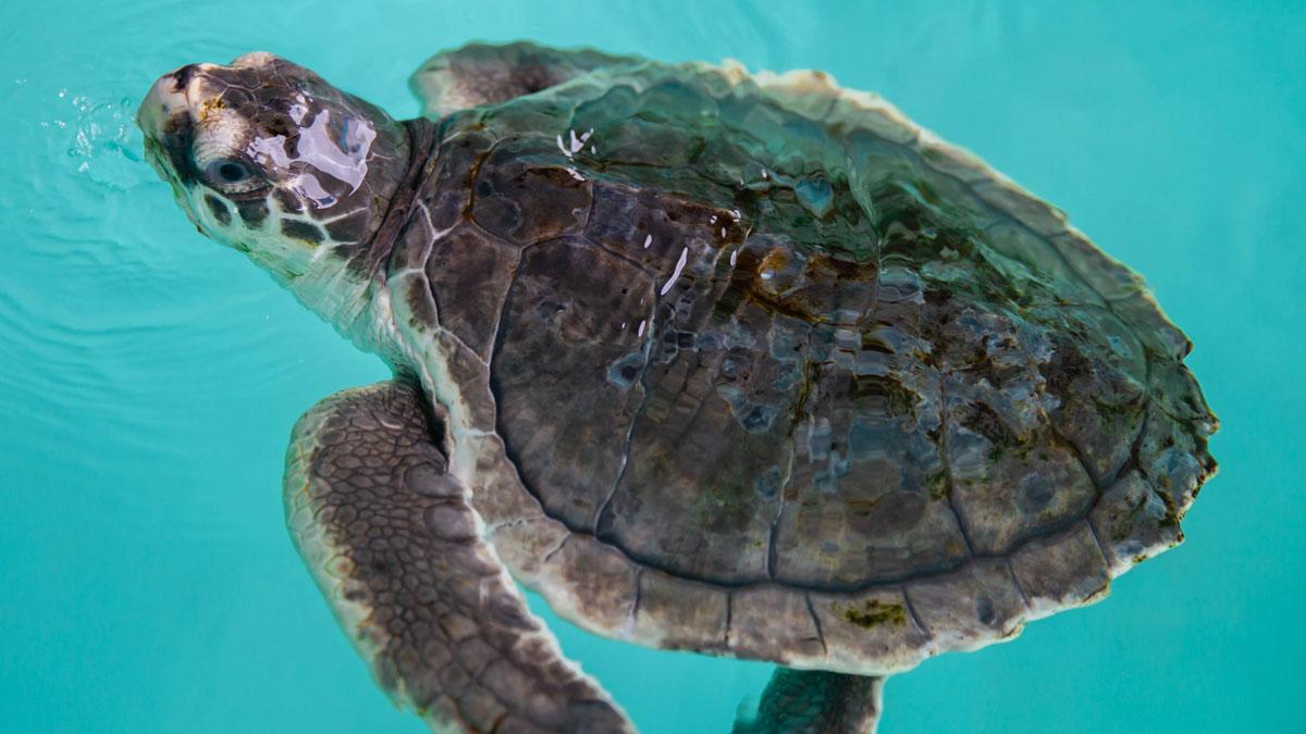 "#149 ""Claus"" Kemp's ridley sea turtle"