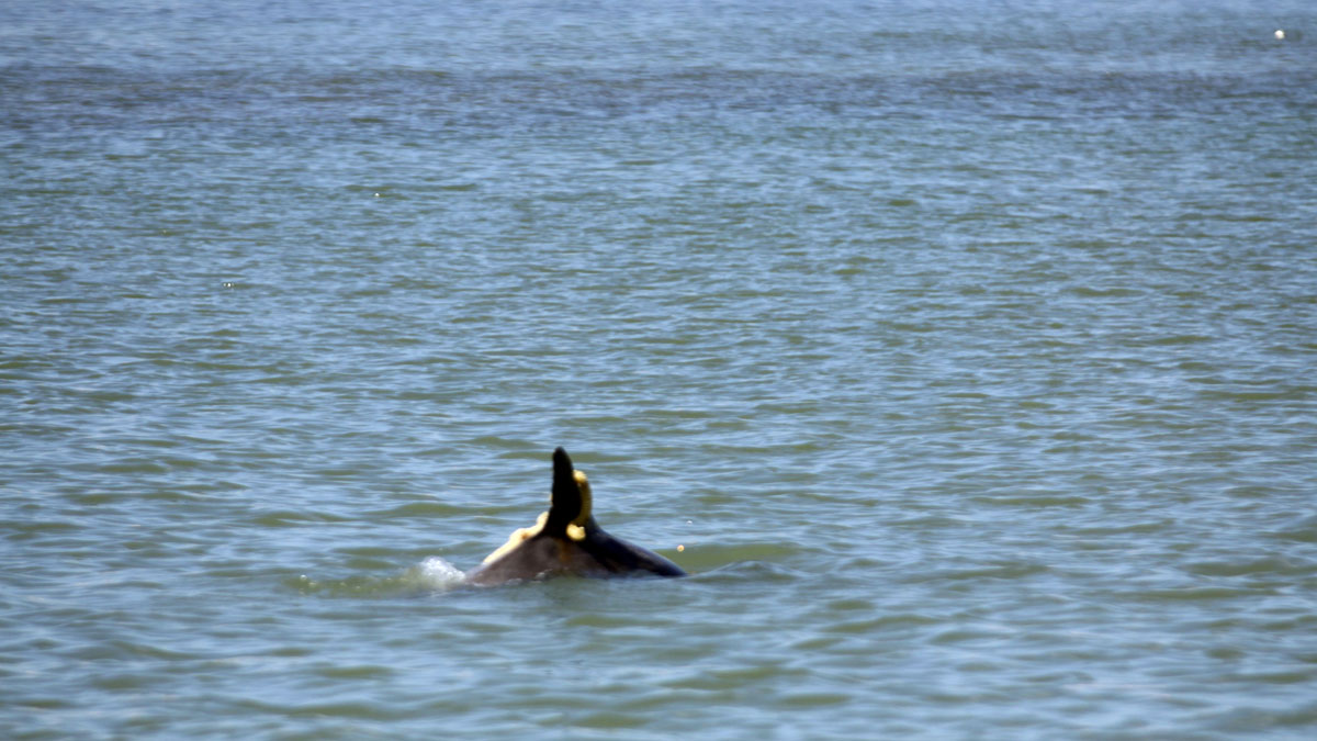 Dolphin carrying sea snail egg casing.
