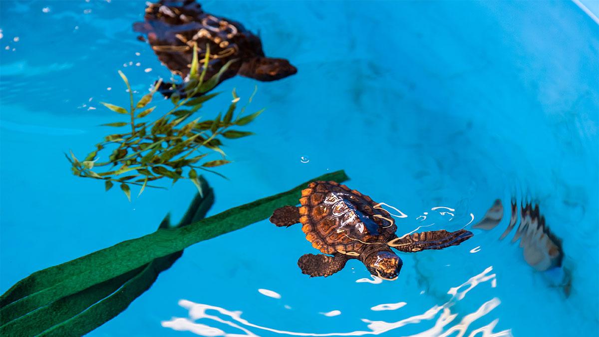baby sea turtles in rehab pool