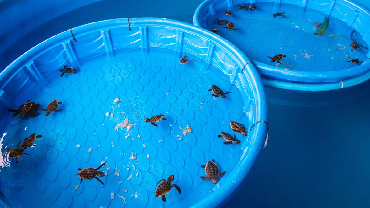 baby sea turtle hatchlings in rehab pool