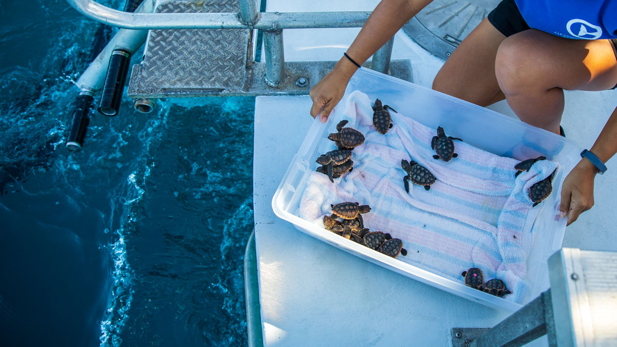 sea turtle hatchlings ready for release