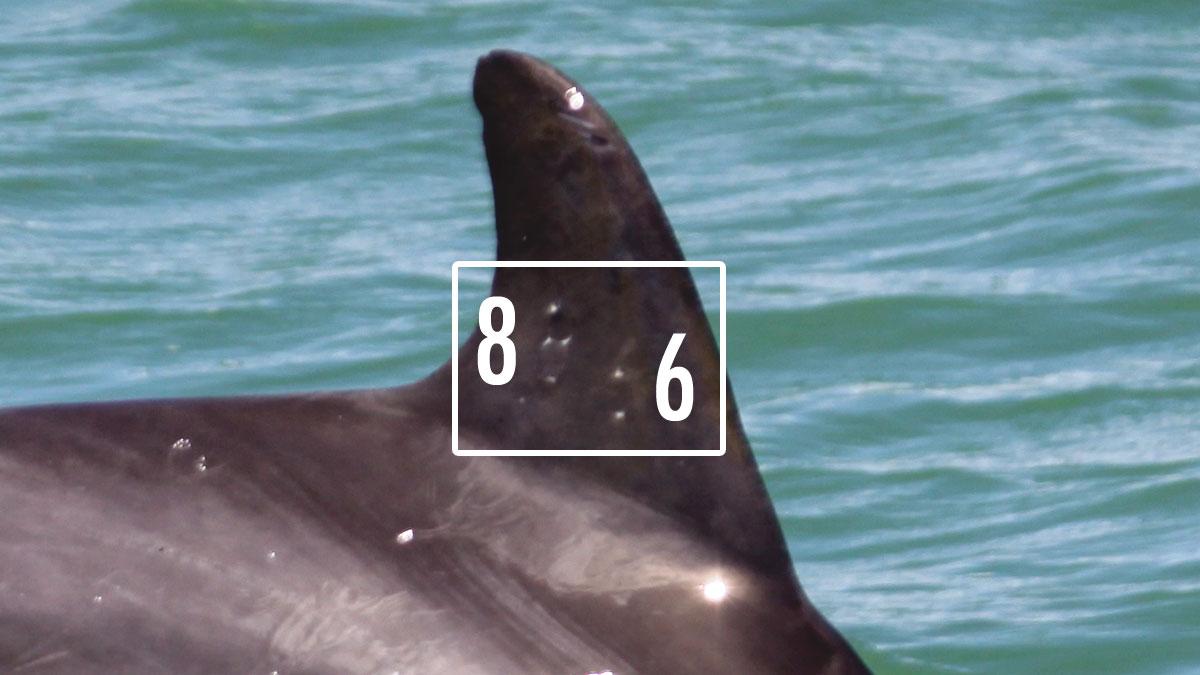 dolphin dorsal brand