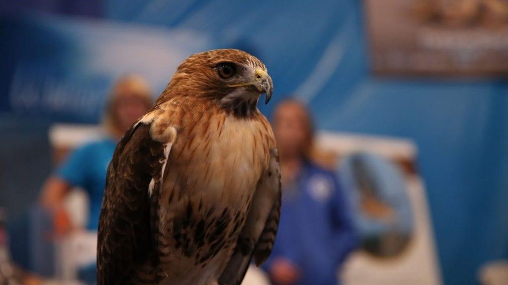 hawk at birds of prey