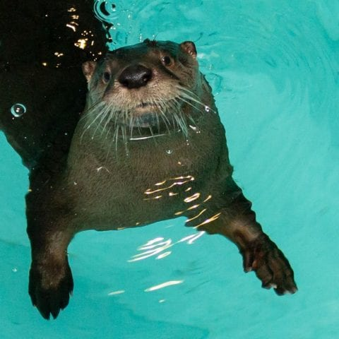 Boomer, a river otter