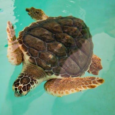 snorkel loggerhead sea turtle