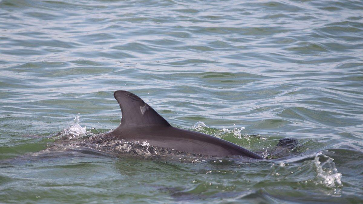 Divo, dolphin dorsal fin in 2018
