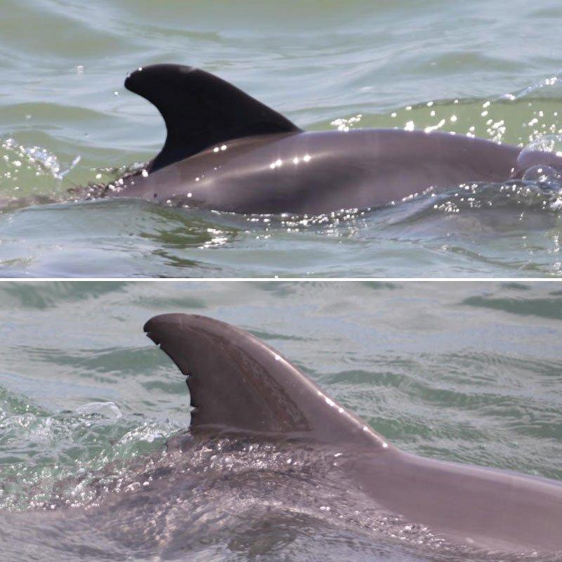 Nola, wild dolphin dorsal fin change