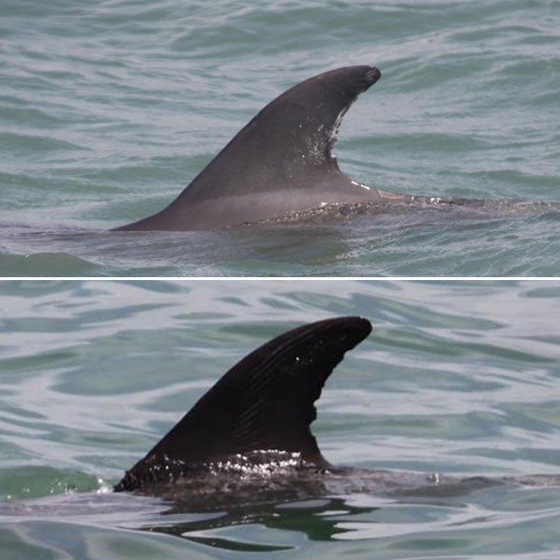 tidal, wild dolphin dorsal fin change