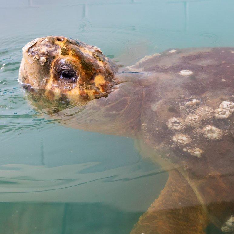 kirby, loggerhead turtle