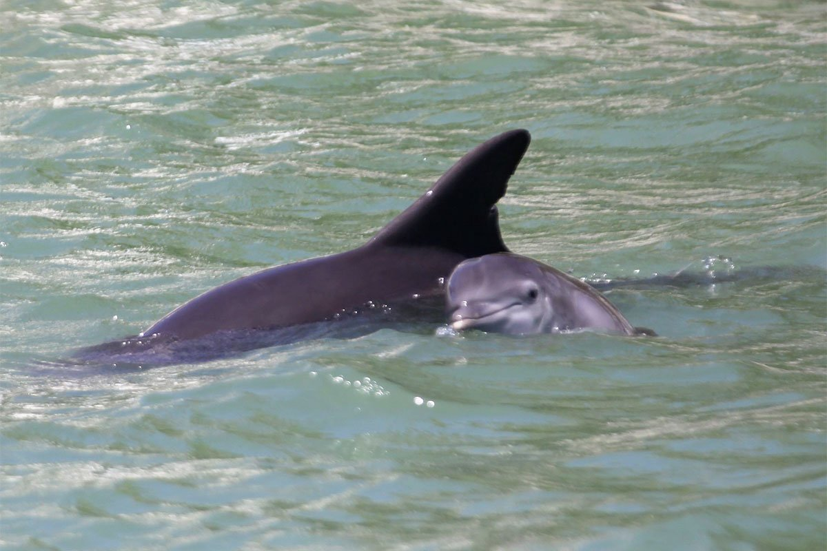 Jai dolphin calf