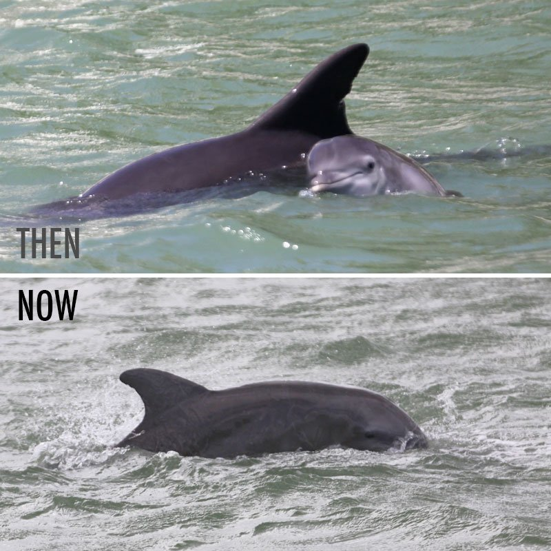 Jai dolphin calf then and now