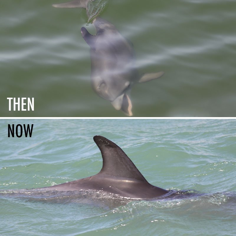 Pat dolphin calf then and now