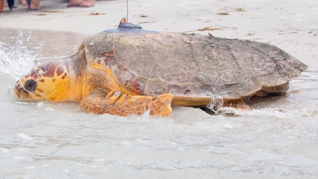 Kirby, loggerhead sea turtle released