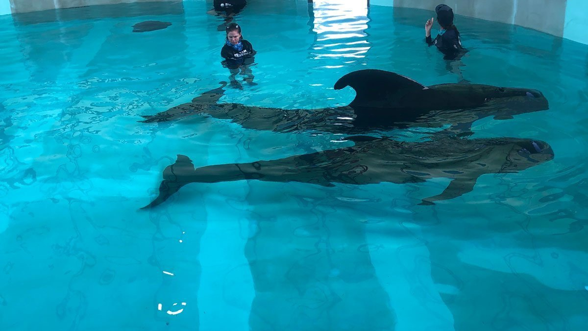 Two pilot whales recovering at CMA's rehab facility in Tarpon Springs.